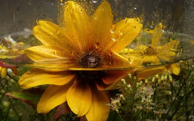 Blackeye Susan in Water