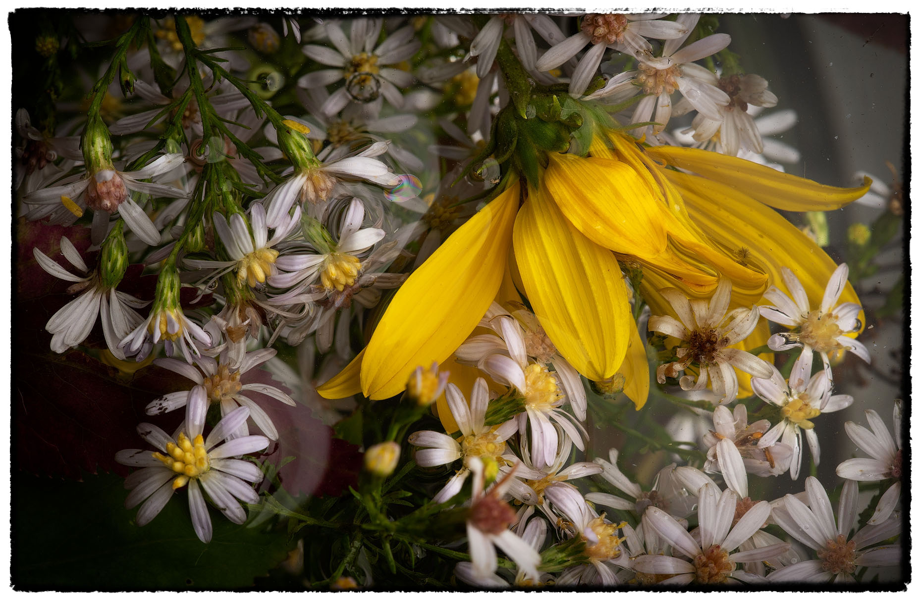 Asters and Sunflower Petals