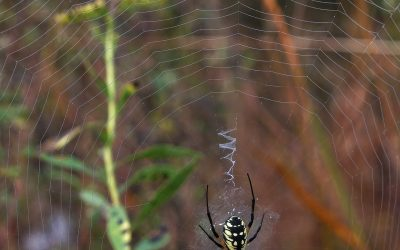 yellow garden spider in its web with z-patterns