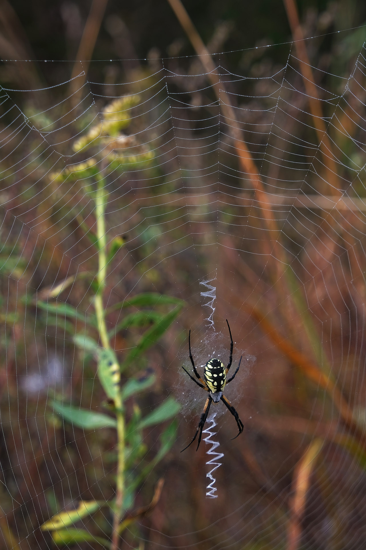 Yellow garden spider in autumn grass