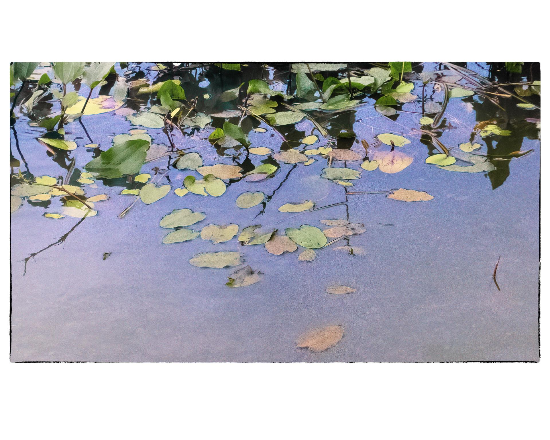 Arrowhead leaves floating on marsh surface