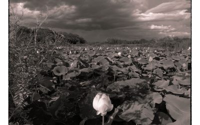 Lotus patch with standing blossom, storm clouds overhead