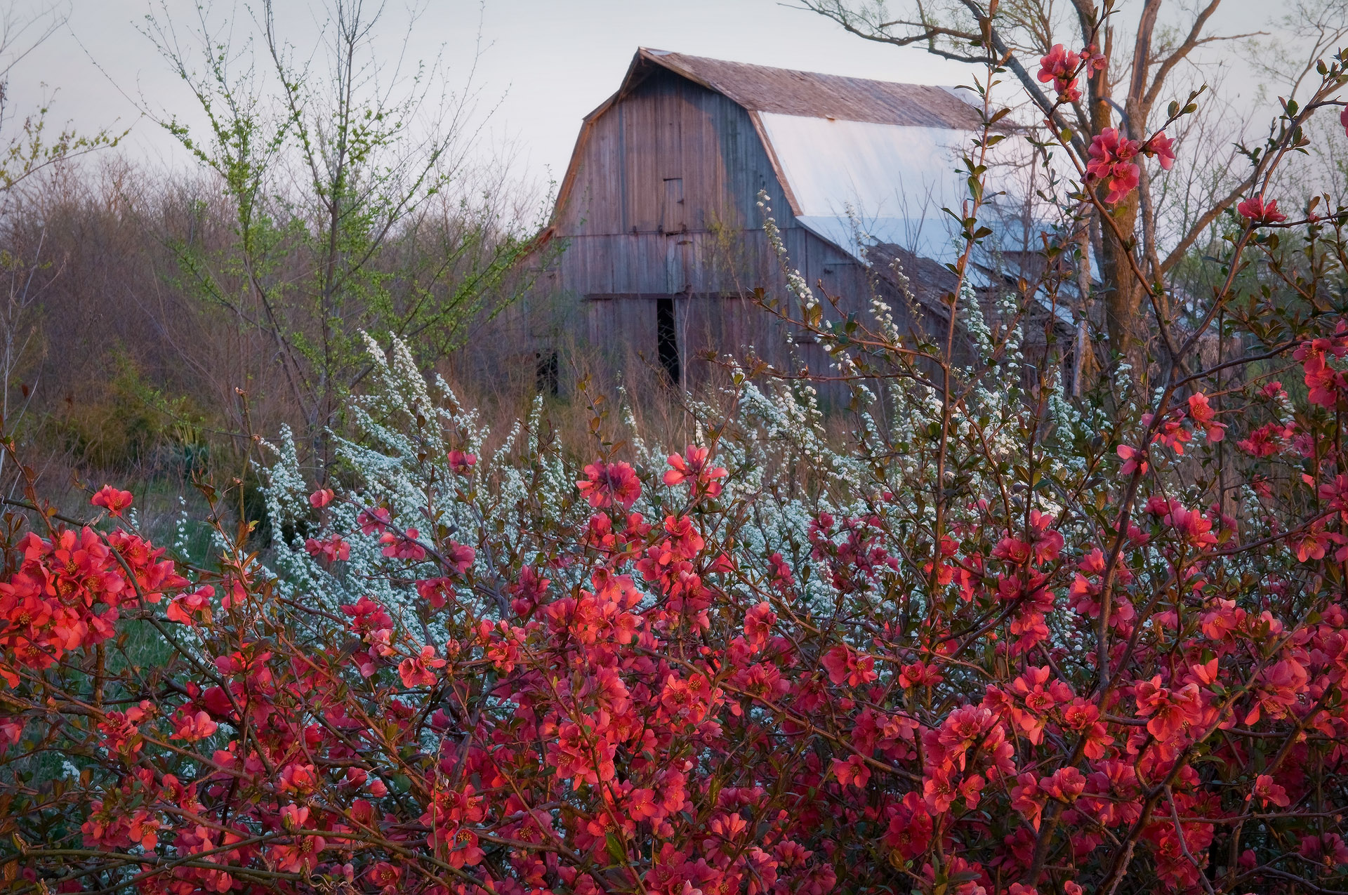 Quince bush with barn in background