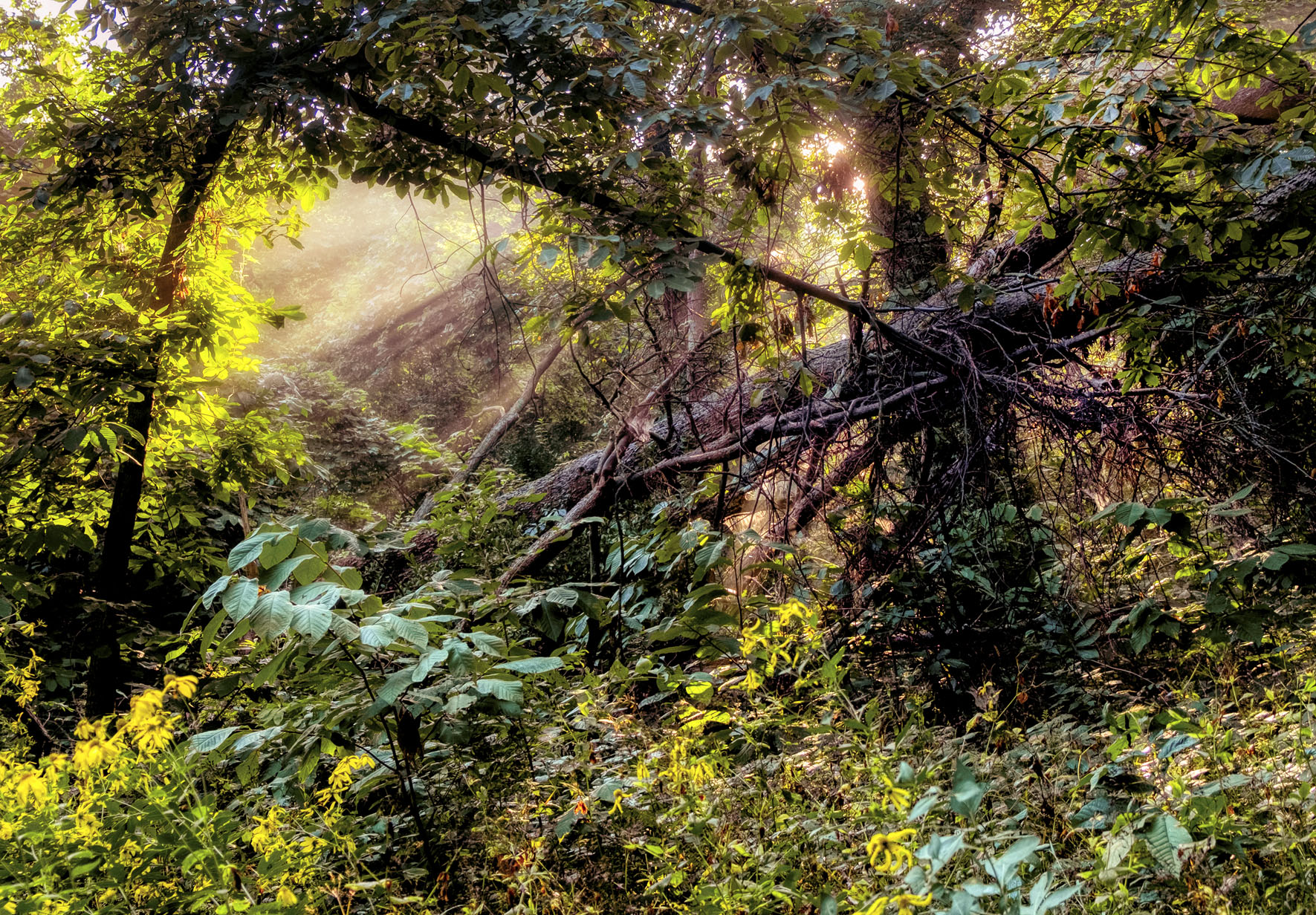 Fallen tree with a Morning Fog.