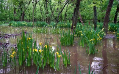 Patches of yellow iris in flooded woods