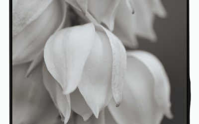 Yucca blossoms in monochrome study